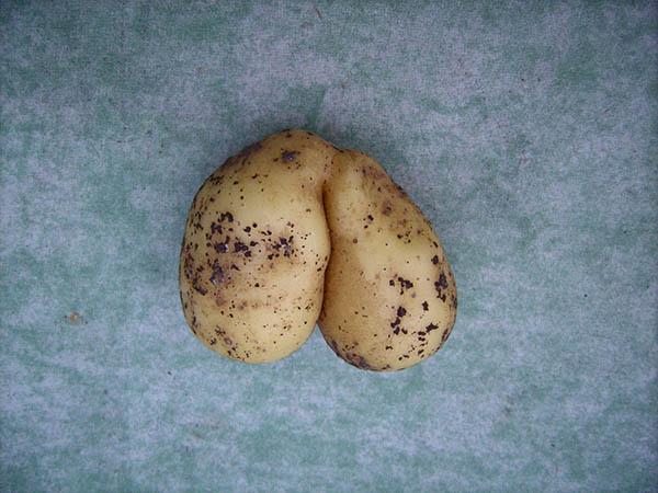 Zwillingskartoffel